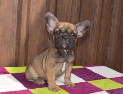 Bulldog francez - Mira