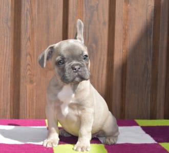 Bulldog francese - Bodza