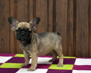 Francia bulldog - Lili
