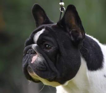 French Bulldog - Nitro