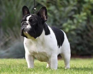 French Bulldog - Nandal