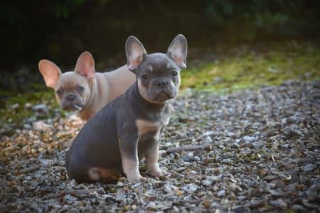 French Bulldog - Harry