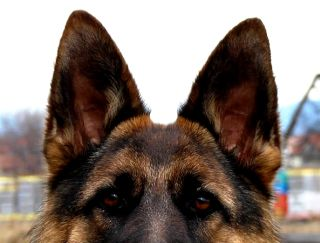 Felling-Helga - German Shepherd Dog Puppy for sale