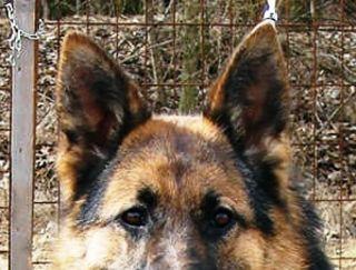 Falla-Virginia - German Shepherd Dog Puppy for sale