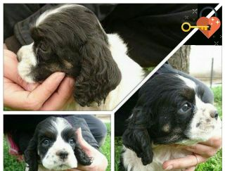 Assassin - Cocker Spaniel American puppy for sale
