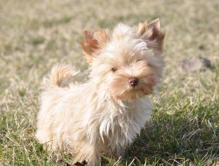 Goldie Boy - Yorkshire Terrier Puppy for sale