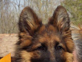 Inez - German Shepherd Dog Puppy for sale