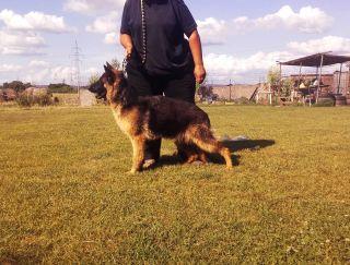 Ins - German Shepherd Dog Puppy for sale