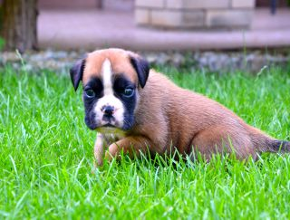 Athos - German Boxer Puppy for sale