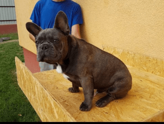 Füles - French Bulldog Puppy for sale