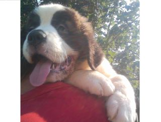 Dolly - Saint Bernard Puppy for sale