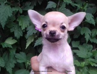 Torma - Chihuahua Puppy for sale