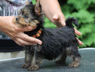 Rumli - Yorkshire Terrier Puppy for sale