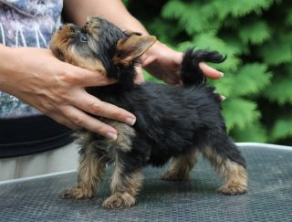 Chips - Yorkshire Terrier Puppy for sale