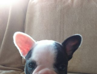 Zserbó - French Bulldog Puppy for sale