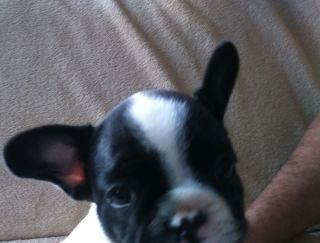 Jean-Pierre - French Bulldog Puppy for sale