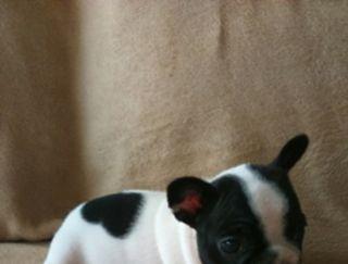 Lola - French Bulldog Puppy for sale
