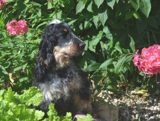 Gerakl - English Cocker Spaniel Puppy for sale