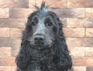 Gelyos - English Cocker Spaniel Puppy for sale