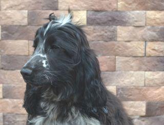 Gai - English Cocker Spaniel Puppy for sale