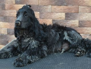 Graf - English Cocker Spaniel Puppy for sale