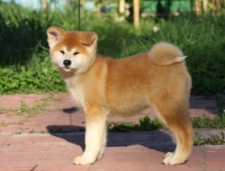 Ookamy - Akita Inu Puppy for sale