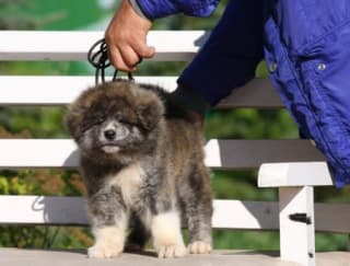 Ookamy (2) - Akita Inu Puppy for sale