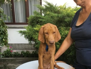 Jerry - Hungarian Short-haired Pointing Dog Puppy for sale
