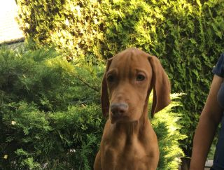 Jony - Hungarian Short-haired Pointing Dog Puppy for sale
