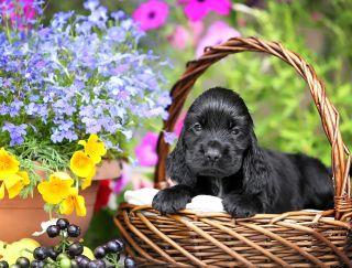 Lord Bairon - English Cocker Spaniel Puppy for sale