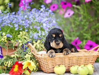 Leonardo Da Vynchy - English Cocker Spaniel Puppy for sale