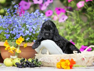 Ledy Yn Blek - English Cocker Spaniel Puppy for sale