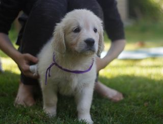 Терра Фиора  - Golden Retriever Puppy for sale