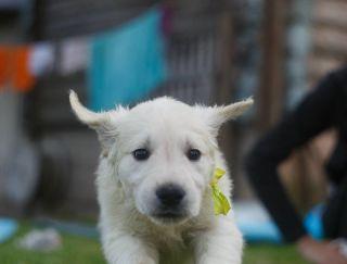 Tairon Khant  - Golden Retriever Puppy for sale