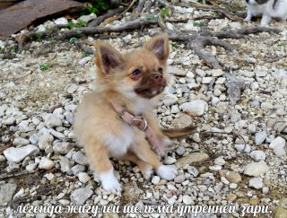 Shelma Utrennei Zary - Chihuahua Puppy for sale