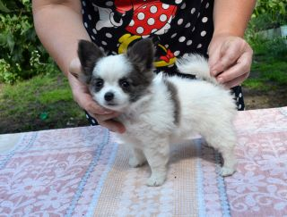 Sherry-Brendy - Chihuahua Puppy for sale