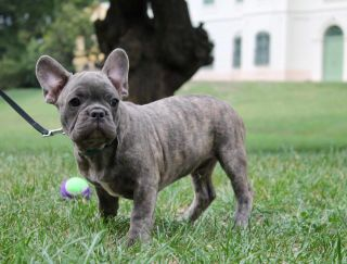 Mangó - French Bulldog Puppy for sale