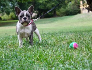 Málna - French Bulldog Puppy for sale
