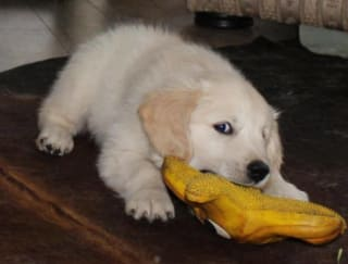 Моника - Golden Retriever Puppy for sale