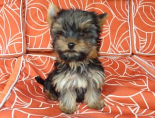 Joey Ewes Beauty - Yorkshire Terrier Puppy for sale