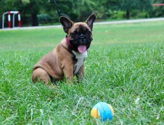 Bourbon Vanilla - French Bulldog Puppy for sale