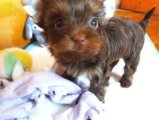 Barbie - Yorkshire Terrier Puppy for sale