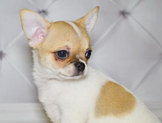 Бон Купидон - Chihuahua Puppy for sale