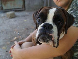 Domynyk Dyaman Boks - German Boxer Puppy for sale