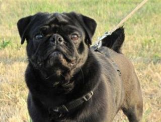 Next Treasure Haus - Pug Puppy for sale