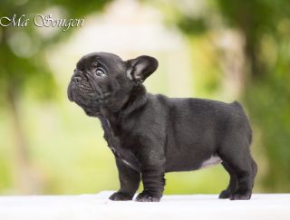 Ma Songeri Black Pearl - French Bulldog Puppy for sale