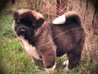 Balerion Winter Is Coming - Akita americano puppy for sale