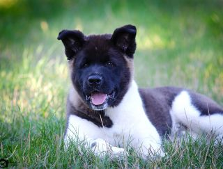 Ayhan - American Akita Puppy for sale
