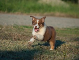 Ruby - Australian Shepherd Puppy for sale