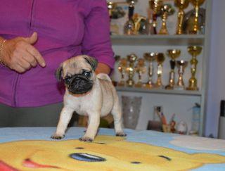Hanna - Pug Puppy for sale